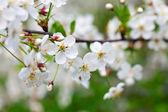 Cherry tree branch in spring — Stock Photo