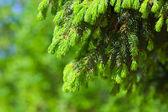 Ramos da árvore de abeto — Fotografia Stock