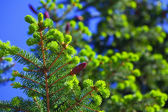 Branches of spruce tree — Stock Photo