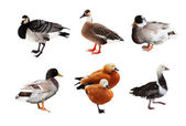 Set of geese and ducks. Isolated over white — Stock Photo