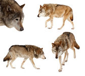 Set of few wolves over white — Stock Photo