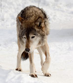 Wolf on snow — Stock Photo