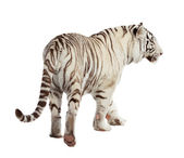 Walking tiger. Isolated over white — Stock Photo