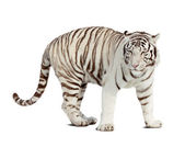 White tiger. Isolated over white — Foto de Stock