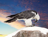 Griffon vulture against sky background — Stock Photo
