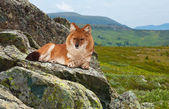 Dhole in windness area — Stock Photo