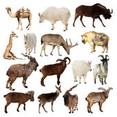 Set of Artiodactyla animals. Isolated over white — Stock Photo