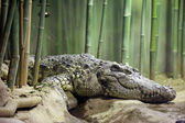 Siamese crocodile — Stockfoto