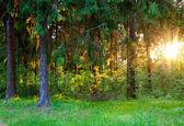 Yaz çam ormanı — Stok fotoğraf