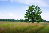 Summer landscape with oak — Stock Photo