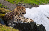 Leopard on stones — Stock Photo