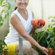 Royalty-Free Stock Photo: Mature woman picking  tomatoes