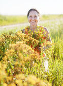 Woman gathers Hypericum — Stock Photo