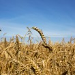 Royalty-Free Stock Photo: Harvest-2012. Wheat field background.