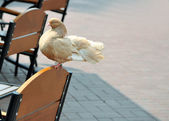 One pigeon on chair — Stock Photo