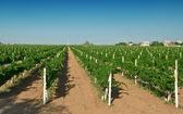 Vineyard against sky — Stock Photo