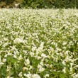 Buckwheat field — Stock Photo #11138811
