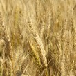 Stock Photo: Ripened winter wheat