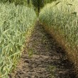 Stock Photo: Boundary between wheat and oat fields