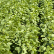 Stock Photo: Field with increasing soy