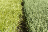 Confine tra i campi di grano e di avena — Foto Stock