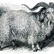 Angora goat - Capra angorensis — Stock Photo