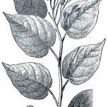 Achiote (Bixa orellana) — Stock Photo #11863991