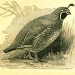 California Quail -Callipepla californica — Stock Photo