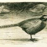Common Pheasant - Phasianus colchicus — Stock Photo