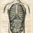 Internal organs of a human — Stockfoto