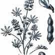 Forage plants - serie of ilustration from the encyclopedia publi - Lizenzfreies Foto