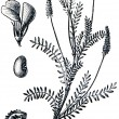 Stock Photo: Forage plants - serie of ilustration from encyclopedipubli