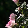 Garden flowers. Roses — Stock Photo