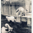 Stock Photo: USSR - CIRC1960s: Reproduction of antique postcard shows Polar bears, circ1960s