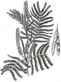 Mimosa catechu - Acaia catechu — Stock Photo