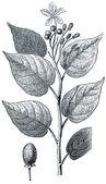 Achiote (Bixa orellana) — Stock Photo