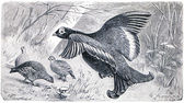 Black Grouse or Blackgame - Tetrao tetrix — Stock Photo