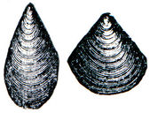 Cambrian and Silurian systems fossil organisms - Brachiopod Atyp — Stock Photo