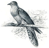 Common Cuckoo - Cuculus canorus — Stock Photo