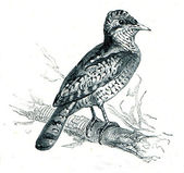 Eurasian Wryneck - Jynx torquilla — Fotografia Stock