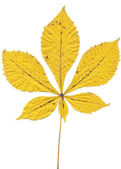 Fallen yellow leaf Horse-chestnut or Conker tree — Stock Photo