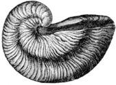 Gryphaea areuata — Zdjęcie stockowe