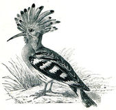 Hoopoe - Upupa epops — Stock Photo