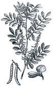 True indigo (Indigofera tinctoria) — Stock Photo