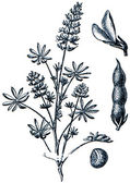 Forage plants - serie of ilustration from the encyclopedia publi — Stock Photo