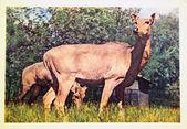 USSR - CIRCA 1963: Reproduction of antique postcard shows roe dear , circa 1963 — Стоковое фото