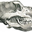 Skull Cave Bear - Ursus spelaeus — Stock Photo