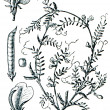 Forage plants - serie of ilustration from the encyclopedia publi - Stock Photo