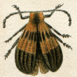 Beetle imitating inedible beetles — Stock Photo #11873222