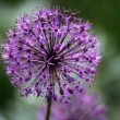 Stock Photo: Allium flowerhead pinball wizard